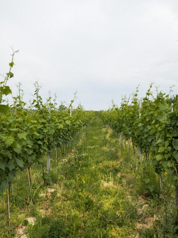 Winnica Moderna Żar wino w winnicy - plenerowa kuchnia z pysznym winem i mięsiwem