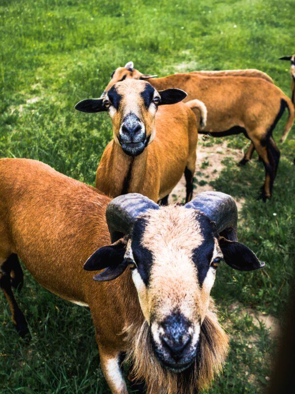 Owce we wsi Soce